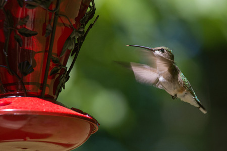Ruby Throated Hummingbird hovering in flight