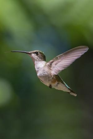 Ruby Throated Hummingbird hovering in flight