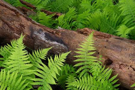 Cinnamon Ferns and Log with fresh rain drops Stock Photo - 40559798