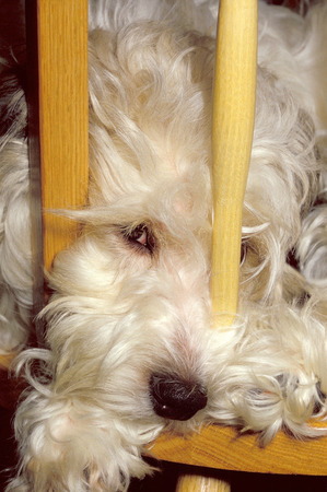 A furry white dog sitting in a wooden chair with face poking through back bars
