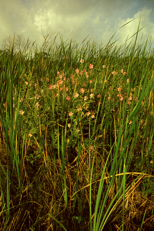 Field with pink flowers