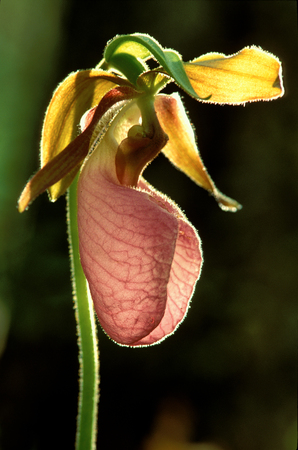 Pink Ladys Slipper orchid, in full bloom Stock Photo