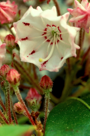 Mountain Laurel Blossom (Kalmia latifolia)