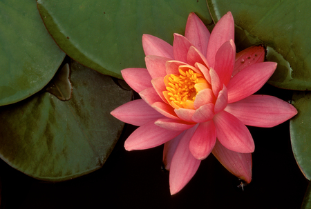 Water Lilly blossom and greenery, Nymphaeaceae