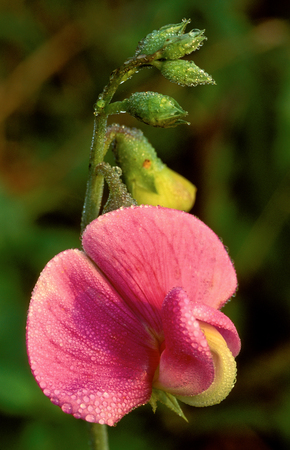 Close up of Sweet Pea Blossom (Lathyrus odoratus)