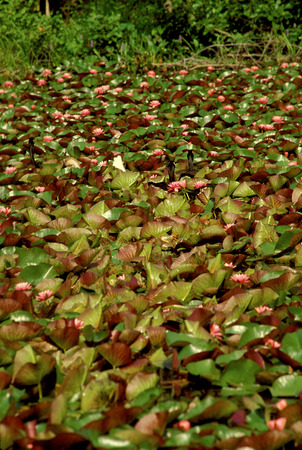 Large collection of water lillies on pond Stock Photo