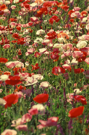 Field of colorful Poppies Stock Photo