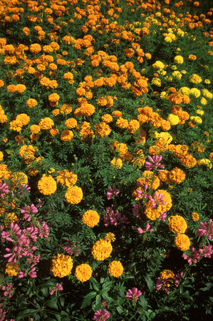 Group of marigold flowers Stock Photo