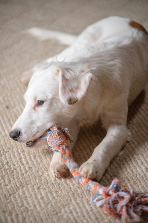 White terrier mixed-breed puppy playing with chew toy Stock Photo
