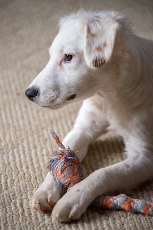 화이트 테리어 혼합 품종 강아지 씹 기 장난감을 가지고 노는