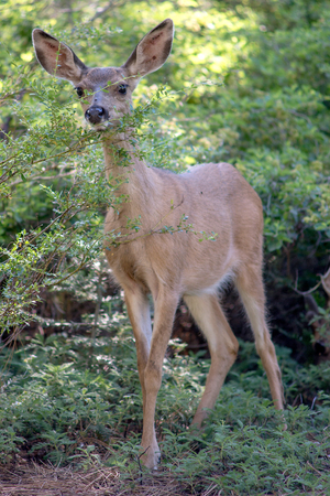 Mule Deer in Yosemite National Park Stock Photo