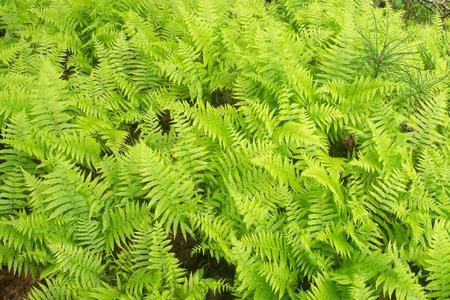 계피 양치 식물의 두꺼운 헝겊 조각 스톡 콘텐츠