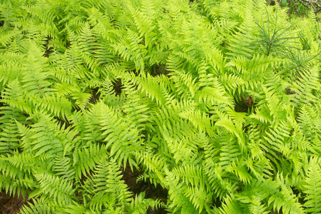Thick patch of Cinnamon Ferns filling frame Stock Photo