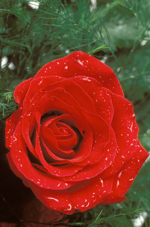 Red rose and water droplets Stock Photo