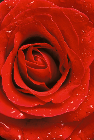 Extreme close-up of center of red rose with water droplets Stock Photo - 74449367