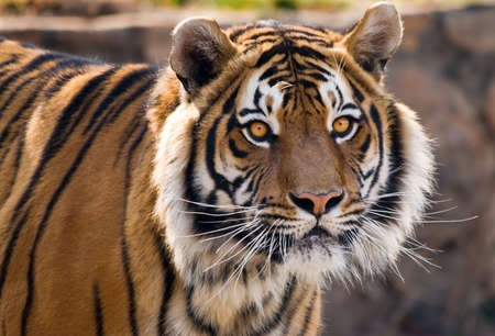 Close-up portrait of a Tiger