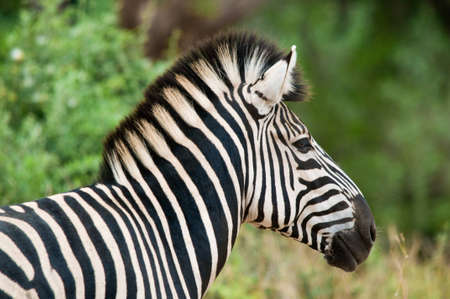 Close-up portrait of a Burchell's Zebra, Equus burchelli