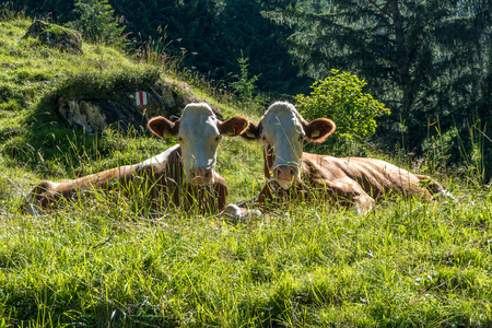 two cows looking straight into the camera sitting next to eacht other
