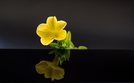 yellow flower with reflection in dark studio close up