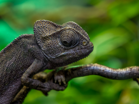 chameleon close up of eye in amsterdam zoo nice