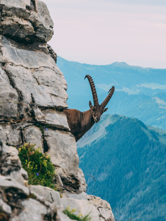 alpine capricorn Steinbock Capra ibex looking at the mountain scenery on a steep mountain rock, brienzer rothorn switzerland alps vertical