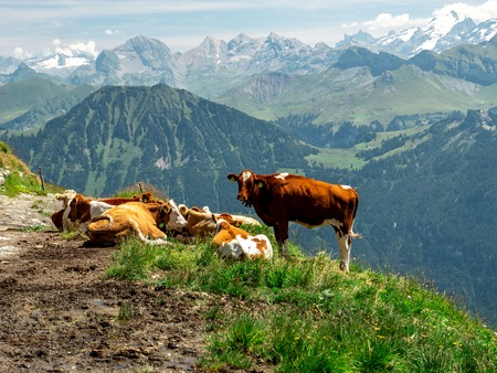 cows chilling on a mountain farm during sunny summer day in the swiss alps scenic view Archivio Fotografico