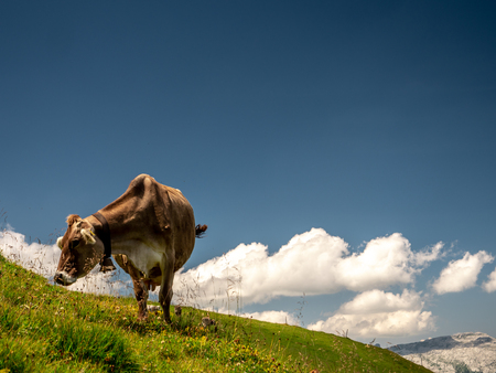 isolated typical cow picture on a sunny summer day at a swiss farm mountain sorenberg Archivio Fotografico