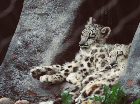 two cute teenager snow leopard sitting and sleeping next to each other big cat