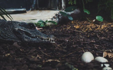 alligator watching over her eggs. side portrait view of crocodile with big black eye sharp thief focus Archivio Fotografico
