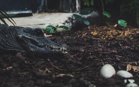 alligator watching over her eggs. side portrait view of crocodile with big black eye sharp thief focus Archivio Fotografico
