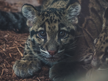 cute close up of young clouded leopard (neofelis nebulosa) looking into camera Archivio Fotografico - 108906157