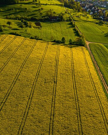 aerial view over very yellow rapeseed field during springtime, aerial view of flower field with tractor lines and path for people, switzerland Archivio Fotografico