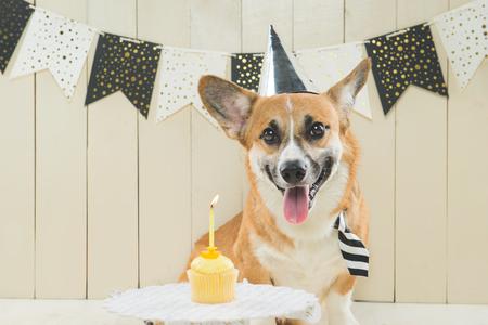 Cute pembroke corgi wearing birthday hat and festive cupcake