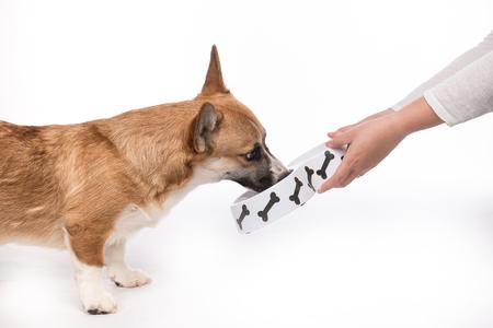 Leuke hond eten eten. Voedende hongerige pembroke corgi. Stockfoto