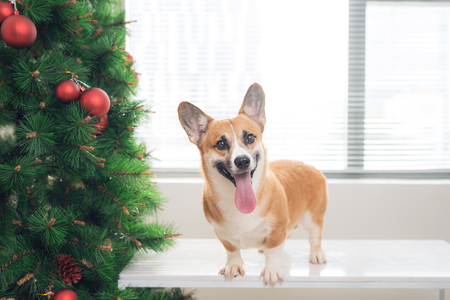 Pembroke corgi in a house decorated with a Christmas tree. Happy Holiday and Christmas Eve Stock Photo
