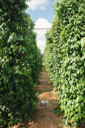 Pepper field at Phu Quoc, Viet Nam, group of pepper plant in green, this farm product is export product from Vietnam to Asia, vegetable growing in bush, and plant in many aea as Binh Phuoc, Daklak