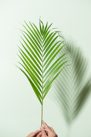 Vertical framing male hands holding a palm leaf in bright light on a white background