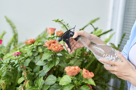 Sprayer in a womans hand, sprinkling potted azaleas.