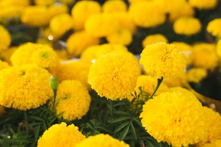 Orange Marigold. Vietnam flower market in Tet holidayLunar new year