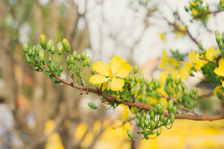 Ochna integerrima flower popularly  or yellow Mai. Ochna integerrima is symbol of Vietnamese traditional lunar New Year together with peach flower. Yellow Mai flower in Vietnam Tet holiday in spring 스톡 콘텐츠