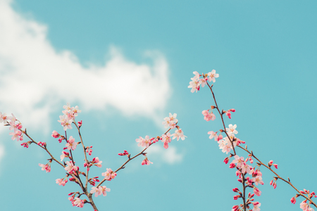 Beautiful cherry blossom sakura in spring time over blue sky. Standard-Bild - 117026768