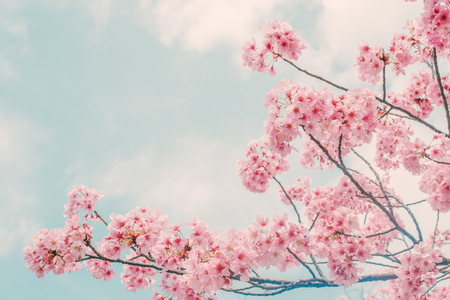 Beautiful cherry blossom sakura in spring time over blue sky. Banque d'images - 117027050
