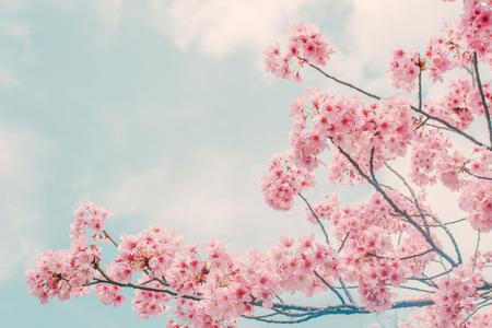 Piękny kwiat wiśni sakura wiosną nad błękitne niebo.