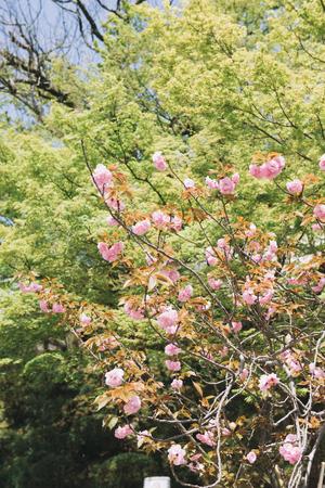 Pink Cherry blossom or sakura flower in spring season at Japan