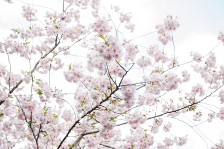 Sakura flowers or cherry blossom on blur background Stock Photo