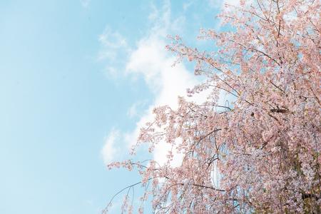 Spring time, branch of sakura flowers 版權商用圖片