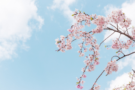 Pastel pink cherry blossoms (sakura) blooming in spring in bright sunny day with blue sky Standard-Bild - 121072818