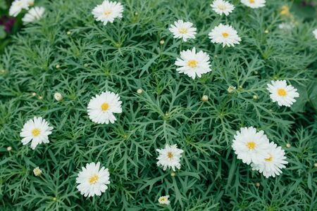 Beautiful white chrysanthemums blooming in the garden