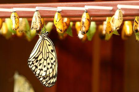 metamorfosis: reci�n transformado Tree ninfa de mariposa