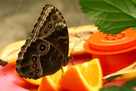 buckeye: close up of a buckeye butterfly resting on an orange